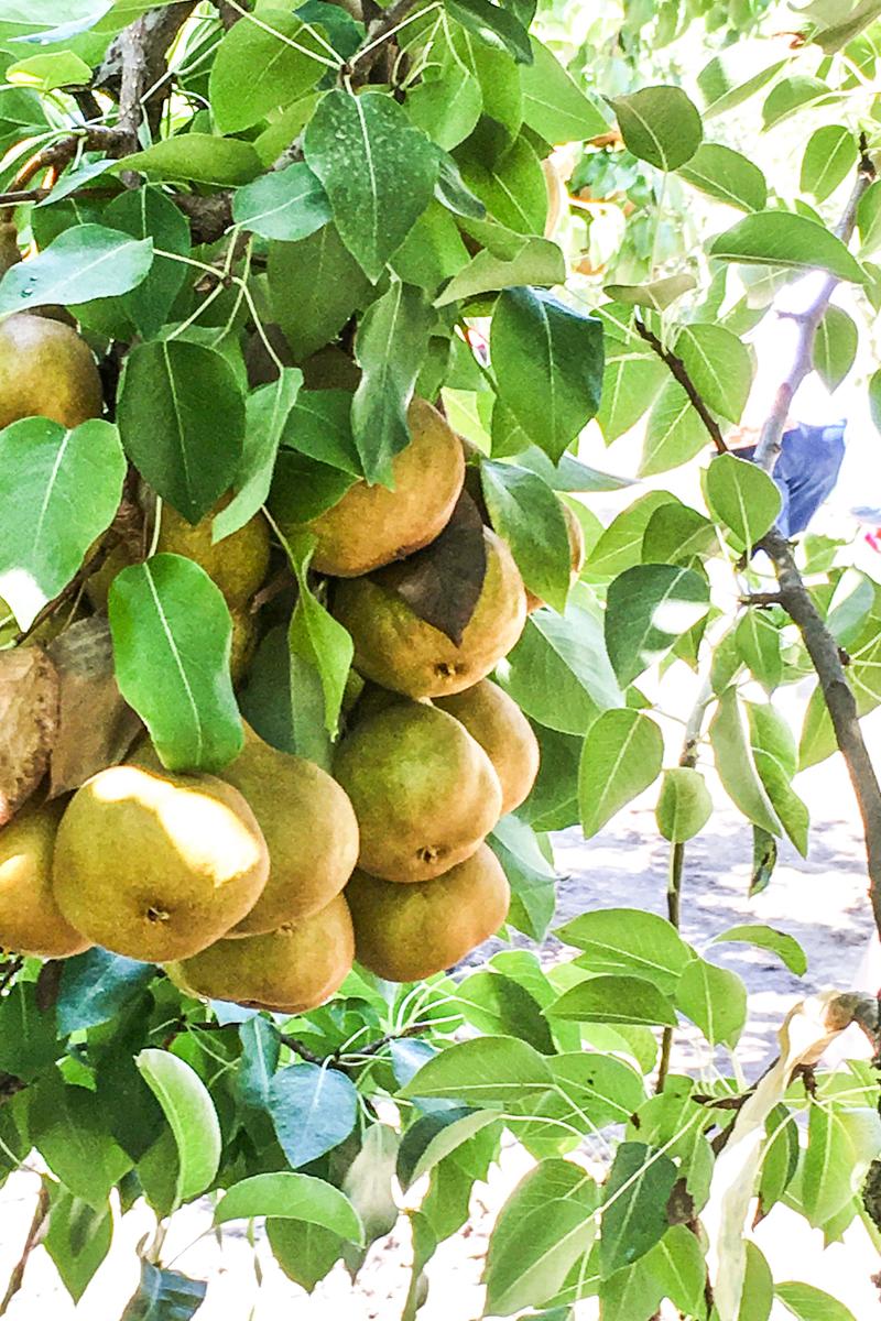 pear-bundle